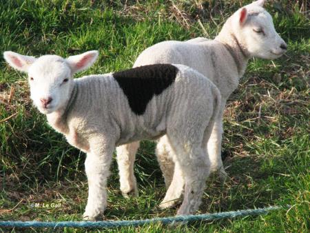 selle agneau