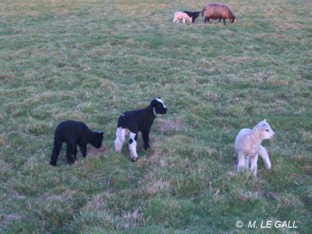 agneaux2