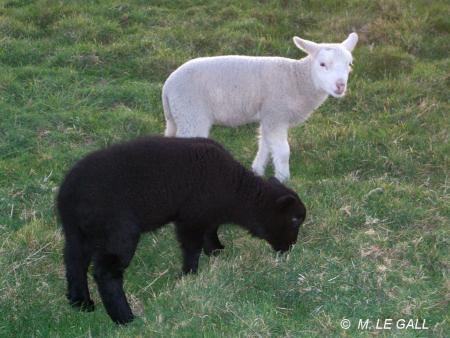 agneaux3