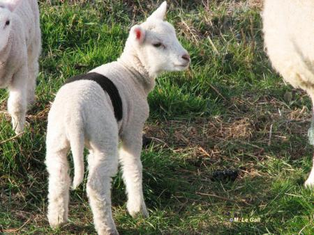 agneau2