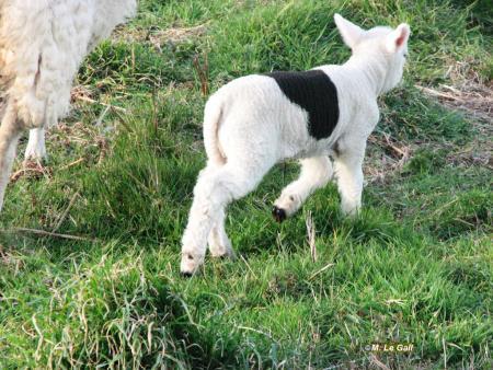 agneau3