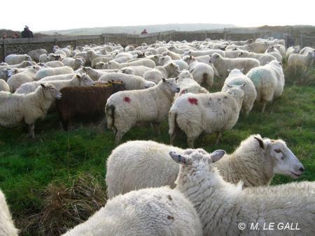 foire_mouton