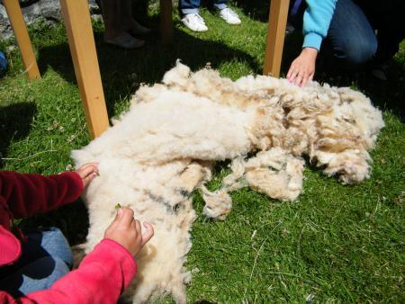 """l'amas de laine après la tonte de la brebis """"Etoile"""""""